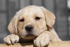 Millionengeschäft für die Hundemafia