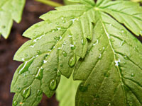 Kiloweise Marihuana aus Prag herangeschafft