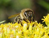 Bee_on_-calyx_9351_opt