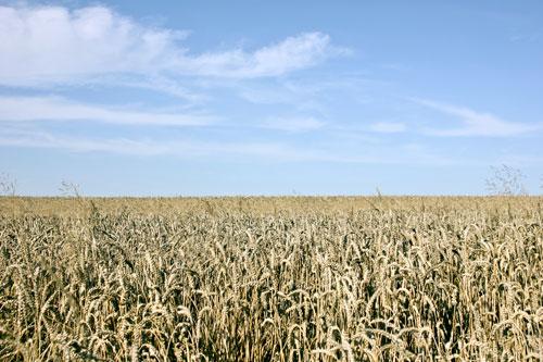 Bis zu 90 Prozent Weizen verarbeiten die industriellen Mühlen hierzulande.