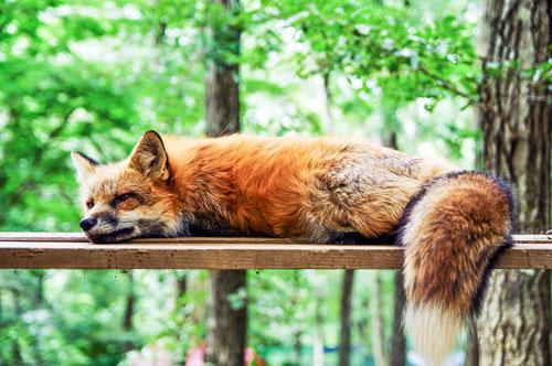 Hoffnung für Fuchs und Nerz