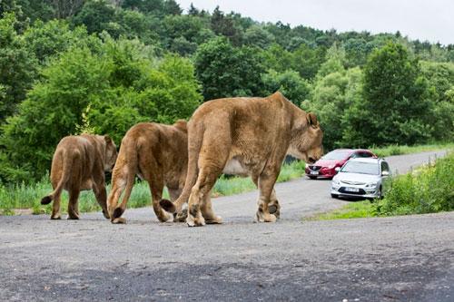 Zu den Löwinnen sollten man Abstand halten.