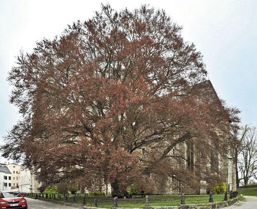In diesem Baum klettert es sich in Jihlava am besten.