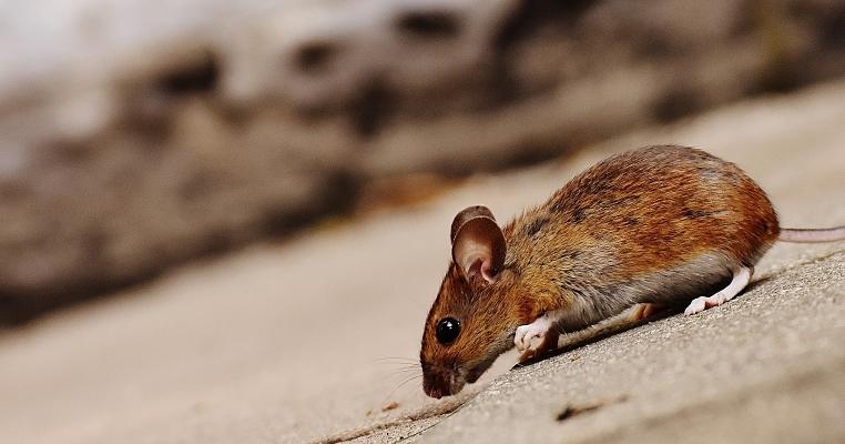Mehr als 5.000 Mäuse ...